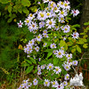 Possibly: Purple-stemmed Aster (Symphyotrichum puniceum)