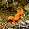 Red Spotted Newt (Notophthalmus viridescens)