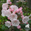 Mountain Laurel (Kalmia latifolia). Photo by Jude Talbot.