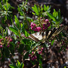 Eastern Tiger Swallowtail (Papilla glaucous) on Sheep Laurel (Kalmia augusifolia)