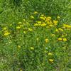 The fields were full of Birdsfoot Trefoil (Lotus corniculatus)