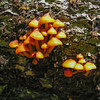 Possibly: Golden Trumpets Xeromphalina campenella