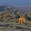 Blue lays down the law as other dogs approach the summit. All was well...