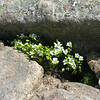 Mountain Sandwort Minuartia groenlandica.