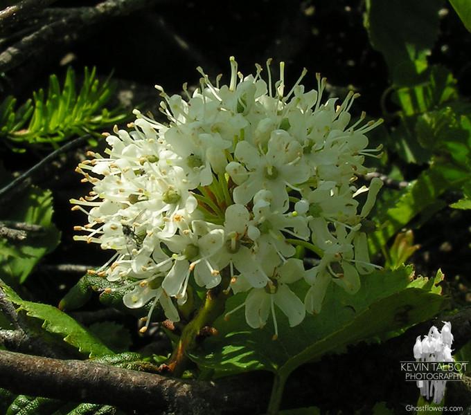 Labrador Tea Rhododendron groenlandicum.