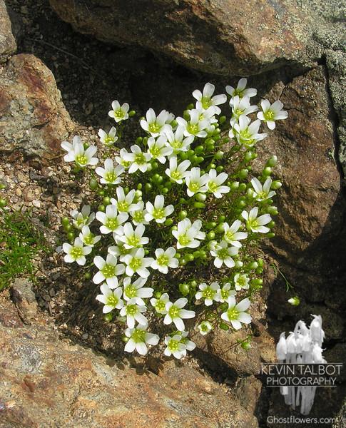 More Mountain Sandwort Minuartia groenlandica.