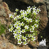 More Mountain Sandwort Minuartia groenlandica.