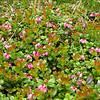 Mountain Cranberry Vaccinium vitis--idaea.