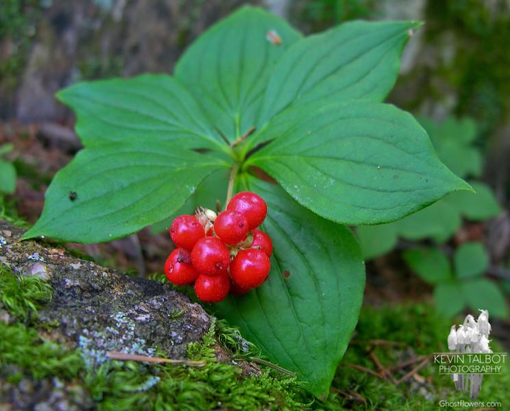 Bunchberry (Cornus canadensis)