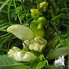 Turtlehead (Chelone glabra)