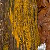 Possibly: Yellow Cup Fungus (Bisporella citrina)
