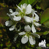 Pin Cherry (Prunus pensylvanica)