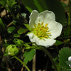 Common Strawberry (Fragaria virginiana)