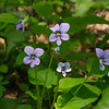 Common Blue Violet (Viola papilionacea)