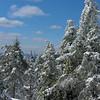 Mount Percival Trees 1.