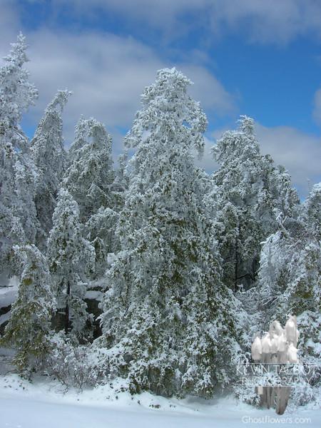 Mount Morgan Trees 3.