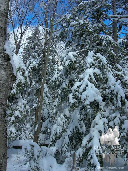 Mount Morgan Trees 1.