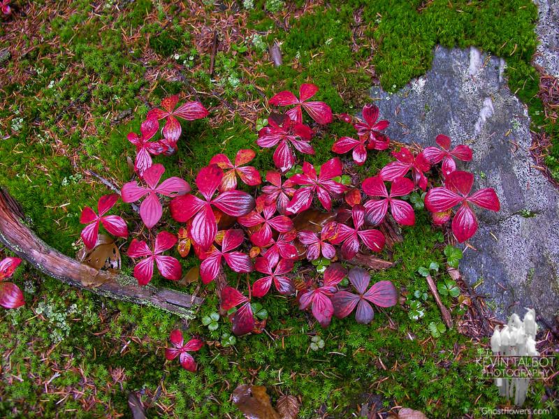 Autumn Bunchberry (Cornus canadensis)