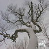 Huge, old Grey Birch vertical.