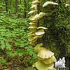 White Jelly Fungus (Psuedohydnum gelatinosum)
