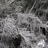 Fallen spruce along trail.