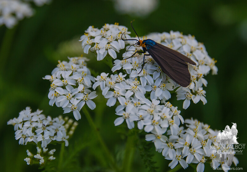 Cool looking moth-Virginia Ctenuchid Moth (Ctenucha virginica) on Yarrow (Achillea millefolium)