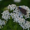 Cool looking moth-Virginia Ctenuchid Moth (Ctenucha virginica) on Yarrow (Achillea millefolium)