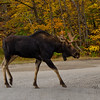 Young bull moose (Alces alces).