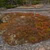 Lichen and Alpine Bilberry.