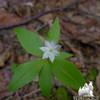 Starflower (Trientalis borealis) 1.