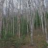 Bare birches.