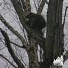 Treed Porcupine. Porcupine (Erethizon dorsatum)