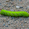 Tomato Hornworm Moth Caterpillar (Manduca quinquemaculata)