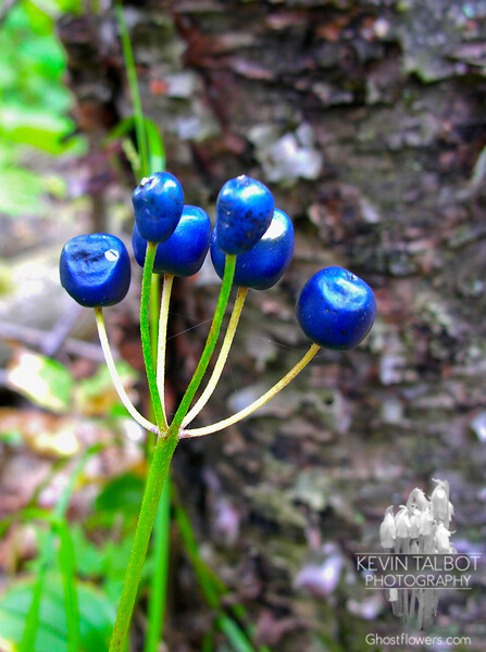 Clintonia (Clintonia borealis) The flower has faded leaving the blue beads which give it it's name Blue Bead Lily.