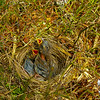 Almost stepped on these White Throated Sparrow chicks. And you thought all baby birds were hatched in the spring.