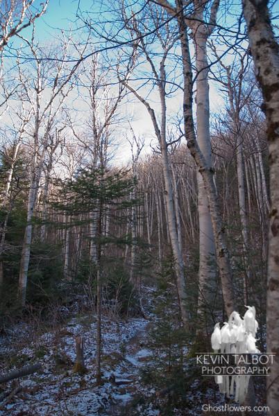 Birch glades along Dry River Trail.
