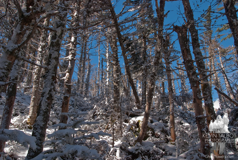 Sugar-coated forest.
