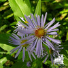 Aster is everywhere. New England Aster (Symphyotrichum novaeangliae)