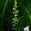 Bog White Orchis (Platanthera dilatata)