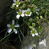 Mountain Sandwort (Minuartia groenlandica)