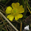 Common Buttercup (Ranunculus acris) at the hut.