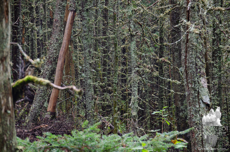 Incredibly thick stands of conifers in a Boreal Forest...