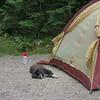 Guard dog at Basin Campground.