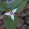 First Painted Trillium (Trillium undulatum) of the year!