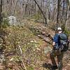 Hobblebush along the trail.