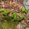 Clintonia (Clintonia borealis) not yet bloomed.