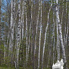 Birch glade near the reservoir.