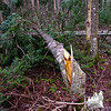 Strong winds on October 28th wiped out many trees along the trail.