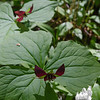 Wake Robin (Trillium erectum)