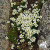 Mountain Sandwort (Minuartia groenlandica)